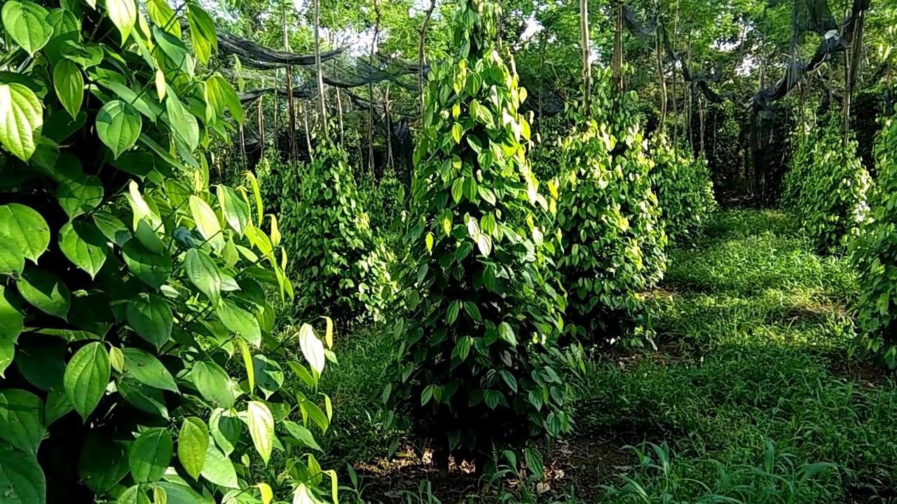 Vườn tiêu hữu cơ